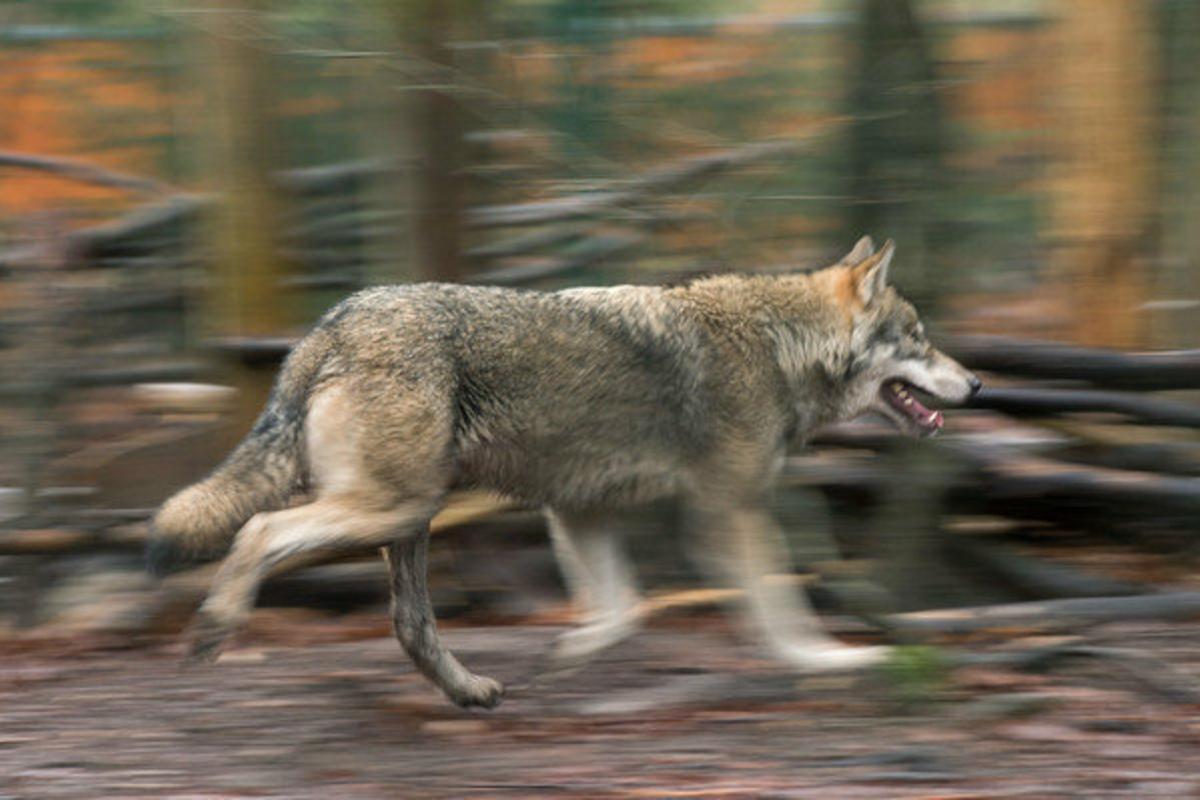 Wolfsangriff in Großdrebnitz