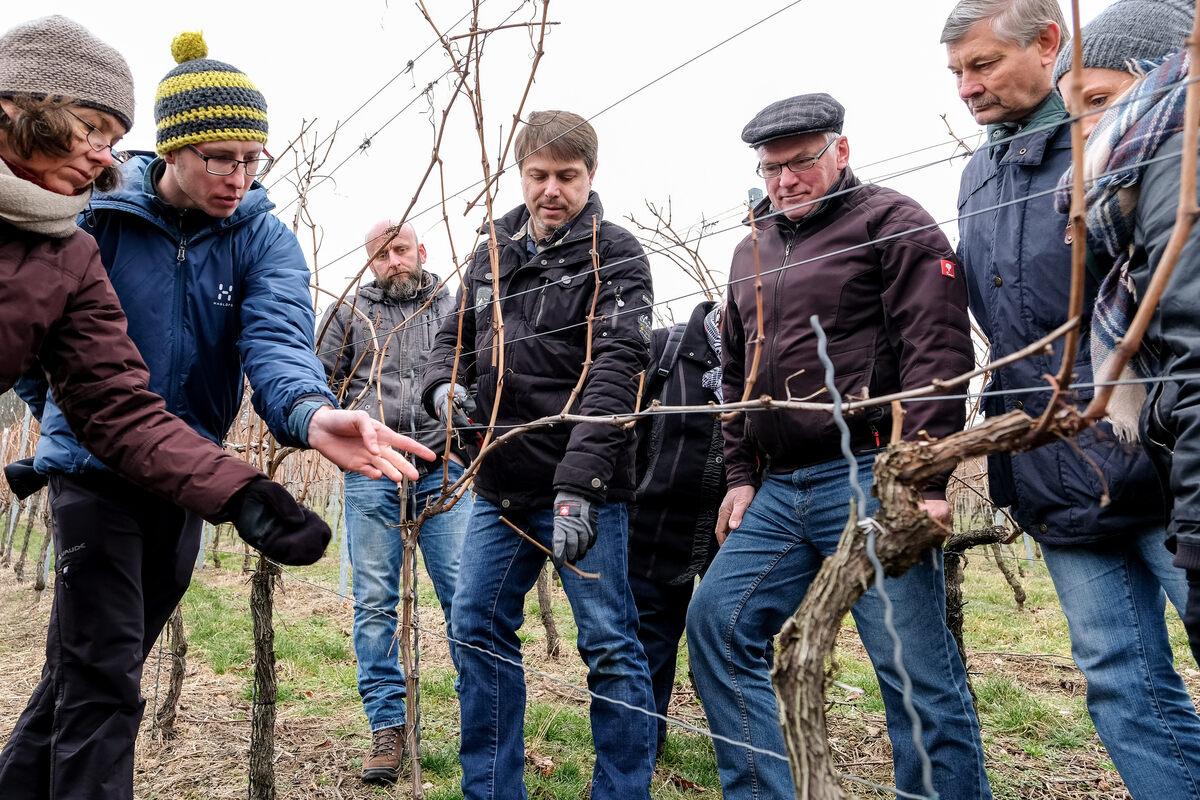 Wie beschneidet man Weinreben richtig? | Sächsische.de