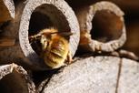 Im Garten ein Zuhause für Wildbienen