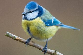 Rekord bei Stunde der Gartenvögel