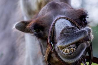 Kamel beißt Pfleger ins Gesicht
