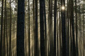 Sachsen setzt Tannen gegen Klimawandel