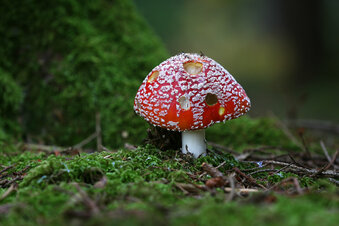Weniger Pilz-Anfragen beim Giftnotruf