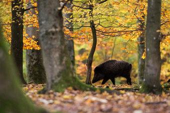 Schweinepest: Sperrzone in Sachsen