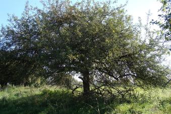 Ein seltener Apfel kommt nach Sachsen zurück
