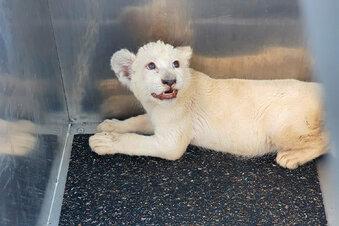Weißes Löwenbaby ist untergekommen