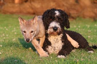Hunde-Leihmutter für kleine Wölfin