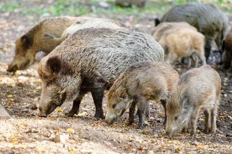 Moritzburg: Wildgehege-Schweine werden getötet