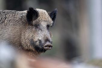 Schweinepest: Hunde spüren infizierte Wildschweine auf