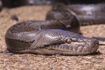 Python-Alarm in englischem Dorf