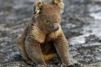 Studie: Stress lässt Koala-Zahlen sinken