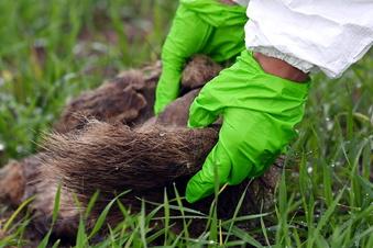 Schweinepest rückt fürs Rödertal näher