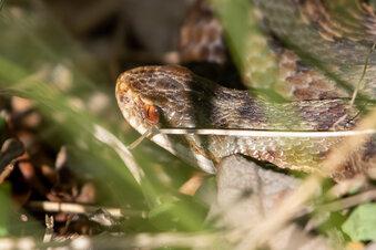 Mann täuscht Schlangenbiss nur vor