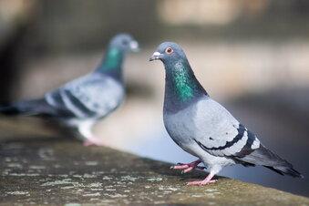 Dresdner Verein sorgt sich um Tauben im Lockdown