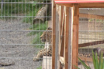 Missglücktes Fotoshooting: Leopard greift Frau an