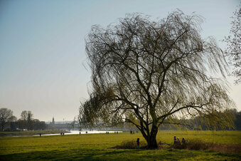 Trockenheit: Dresdens Bäumen fehlt das Wasser