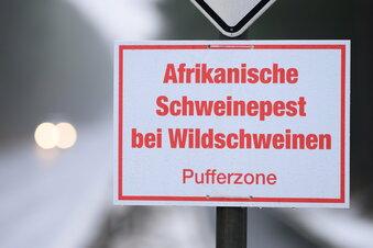 Weitere Schweinepest-Fälle in Sachsen