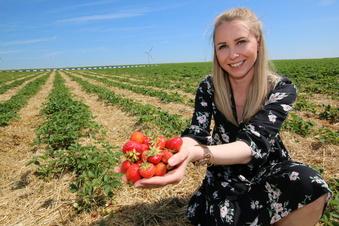 Erdbeer-Ernte in Sachsen startet