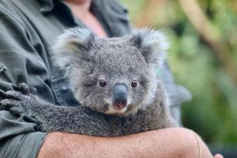 Teenager wegen Koala-Klau verurteilt