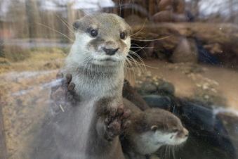 Otter-Pärchen zieht nach Riesa