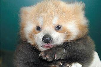 Roter Pandabär in Görlitz geboren
