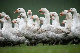Vogelgrippe: Stallpflicht für Geflügel in Dresden