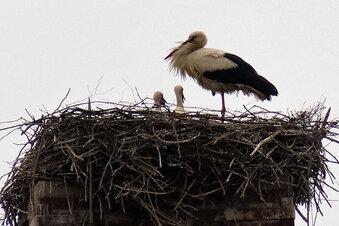 Nachwuchs bei Familie Storch