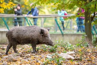 Dürfen Moritzburger Schweine am Leben bleiben?