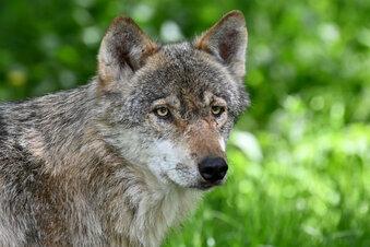Wolf von Auto angefahren