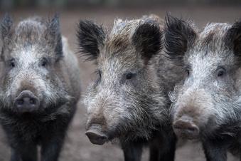Schweinepest hat Deutschland erreicht