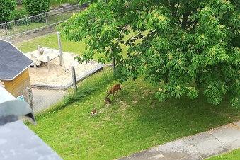 Bambi-Alarm im Neubaugebiet