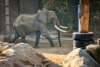 Langes Warten auf Elefanten-Nachwuchs