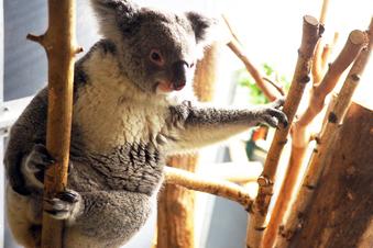 Erster Koala-Nachwuchs im Zoo Leipzig