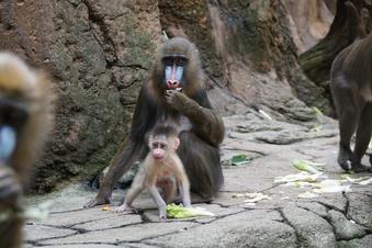 Mandrill-Nachwuchs im Dresdner Zoo