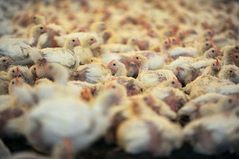 Geflügelfleisch mit Keimen belastet