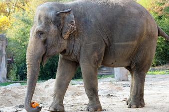 Alte Elefantenkuh aus Leipzig kommt in Karlsruher Zoo