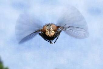 Was ist die Ursache für die Fliegenplage?