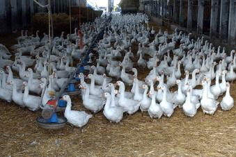 Vogelgrippe im Landkreis Meißen ausgebrochen