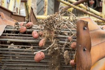 Reinholdshainer Kartoffelernte wird verschoben