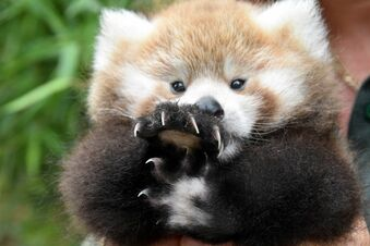 Freud und Leid im Hause Panda