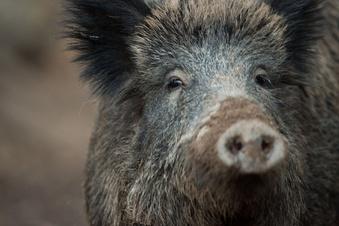 Schweinepest setzt Bauern im Rödertal unter Druck