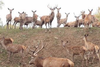 Kamenz: Wolfsangriff im Wildgehege