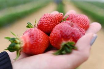 Erdbeeren teurer als im Vorjahr