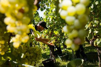 Wein: Gute Qualität, weniger Ertrag