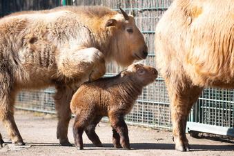 Goldtakin-Nachwuchs im Dresdner Zoo