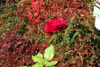 Die letzte Rose des Sommers ...