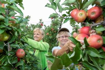 SOE: Endspurt bei der Apfelernte