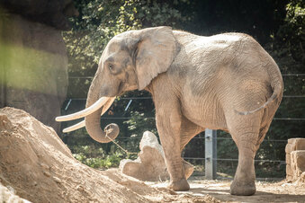 Elefant Tembo verlässt Dresdner Zoo