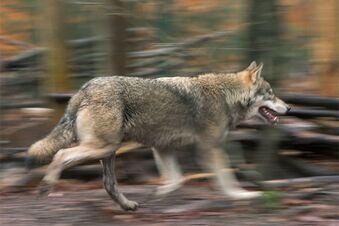 Initiative will den Wolf stoppen