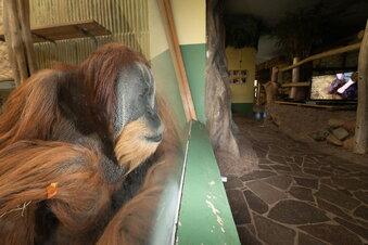 Zoo Dresden: Ein Fernseher für die Orang-Utans